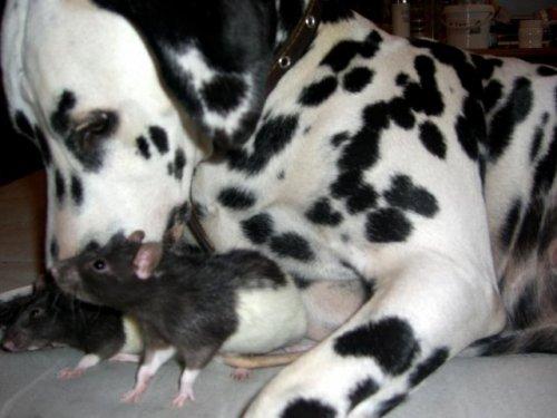 http://chundra.ru/uploads/posts/2007-11/thumbs/dog-rat-01.jpg