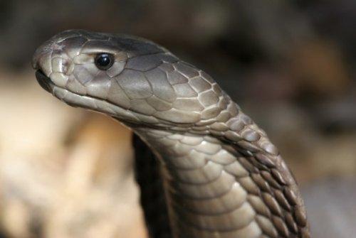 Гигантская кобра