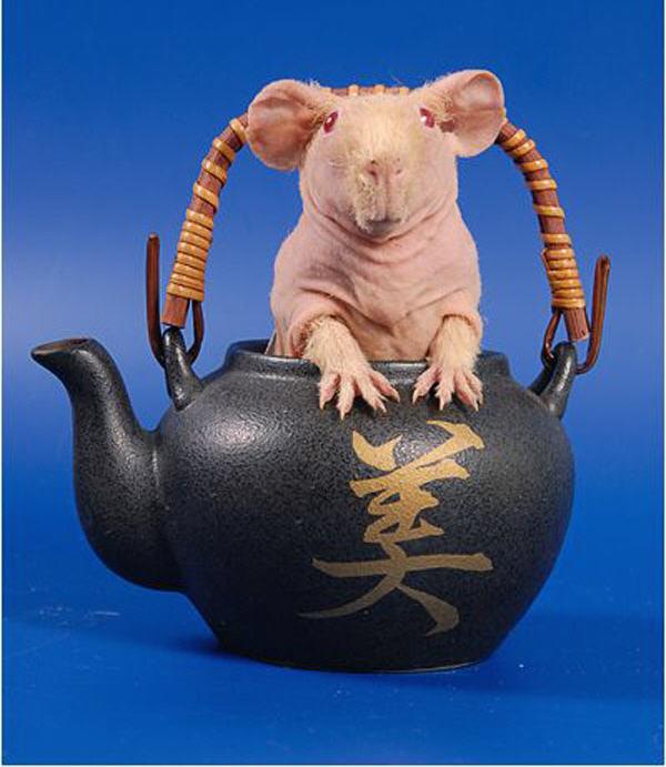 морские свинки ловят мышей