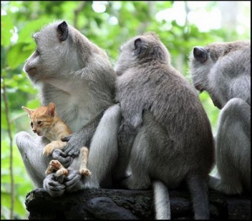 Обезьяны и котенок