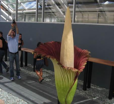 Самый вонючий цветок в мире