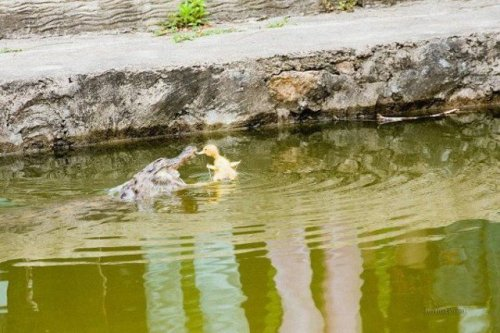 Крокодил против утенка