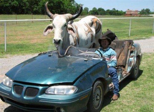Перевозка скотины