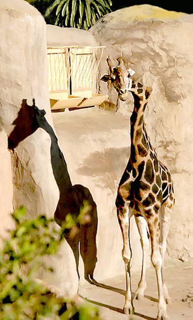Жираф с неправильной шеей