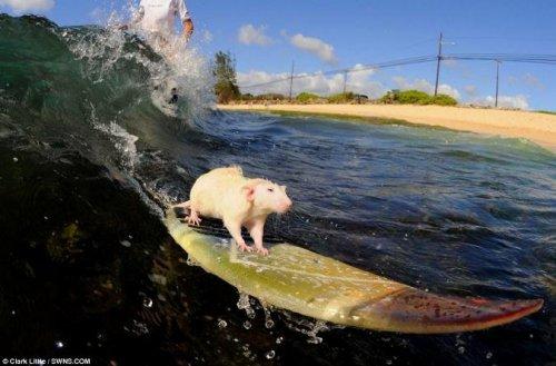 Морской крыс